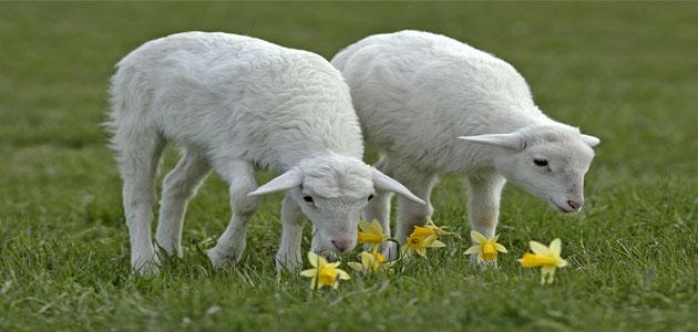 تفسير رؤية الماعز في المنام لابن سيرين مفسر