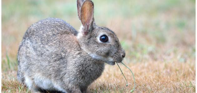 تفسير رؤية الأرنب في المنام