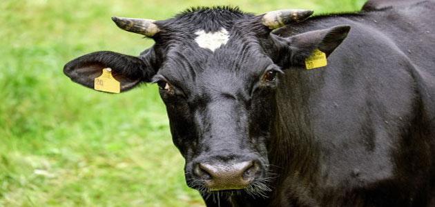رؤية البقرة السوداء في المنام لابن سيرين