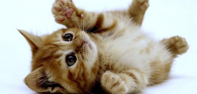 رؤية القطط الميتة في المنام لابن سيرين