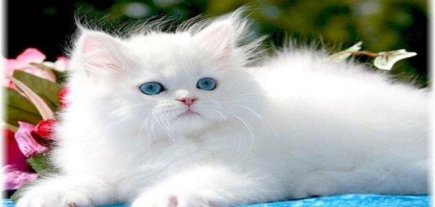 تفسير حلم القطة البيضاء للعزباء