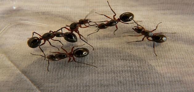 تفسير حلم النمل الأسود